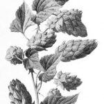 gravure-fruit-sauvage-0063-houblon---humulus-lupulus